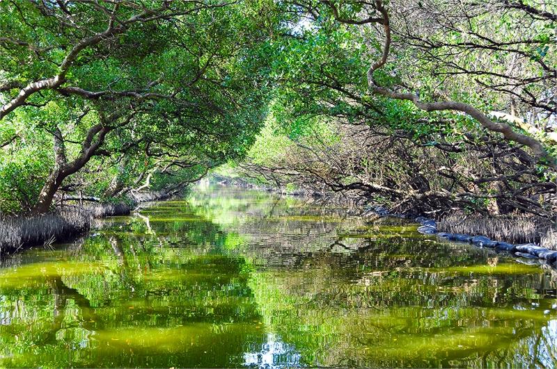 四草紅樹林綠色隧道