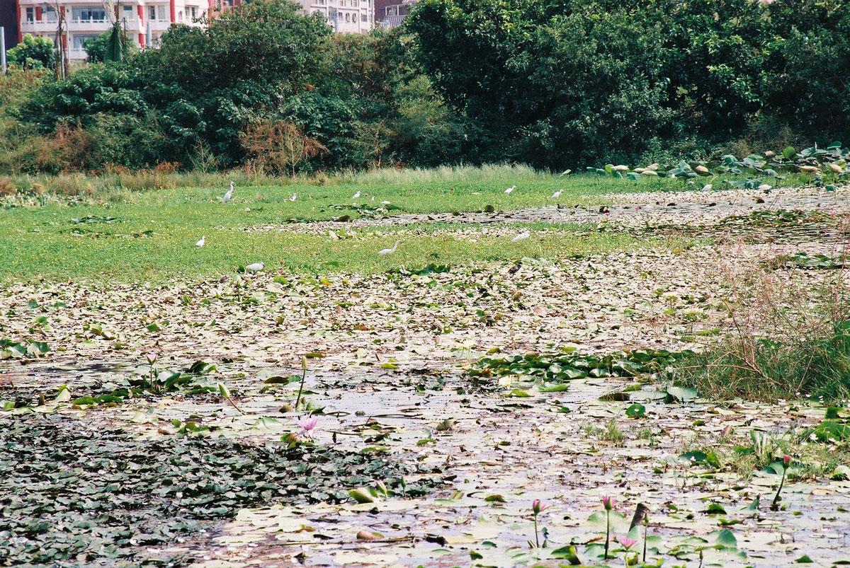 淡水埤塘生態風景
