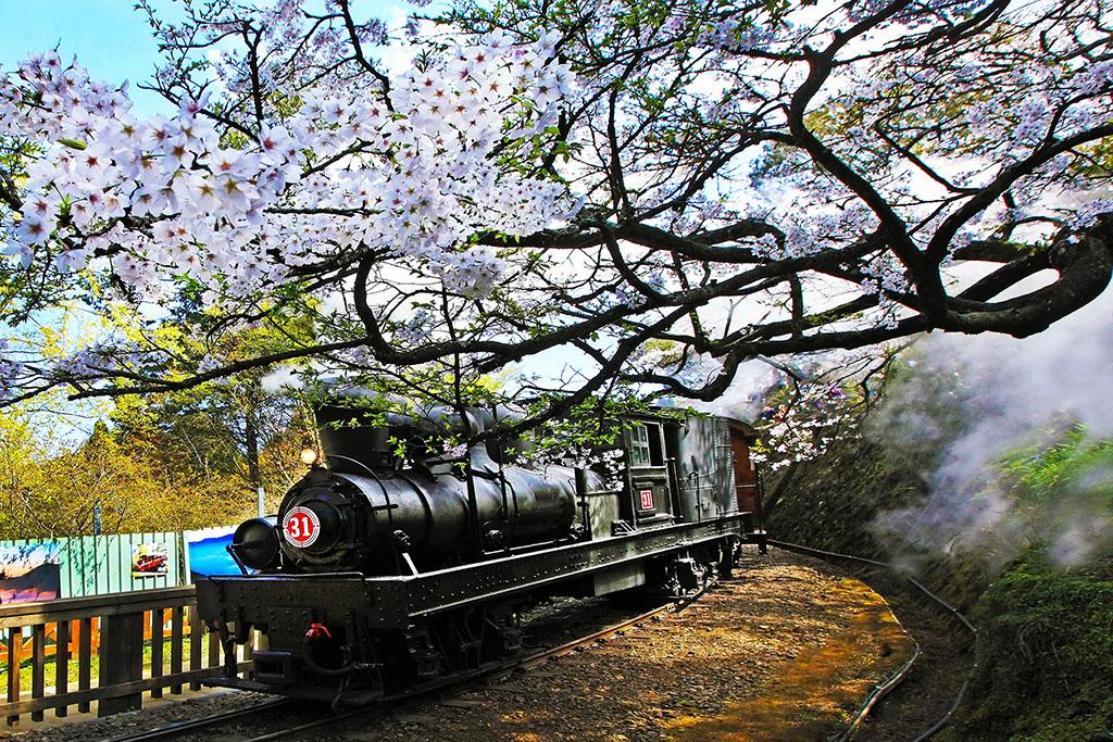 阿里山火車與櫻花
