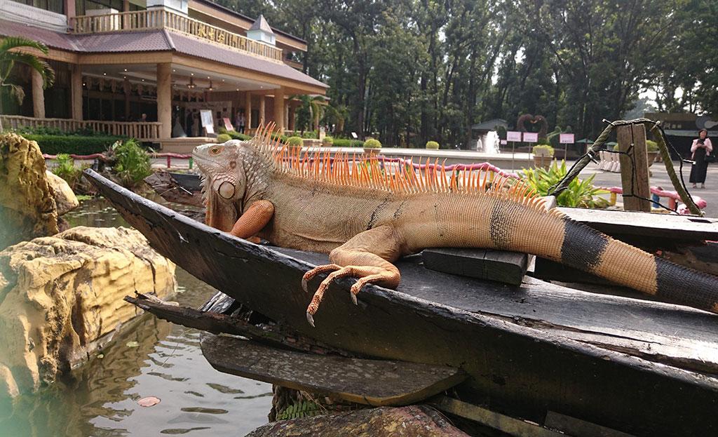 水生峽谷神秘嬌客-綠鬣蜥(八大森林樂園提供)