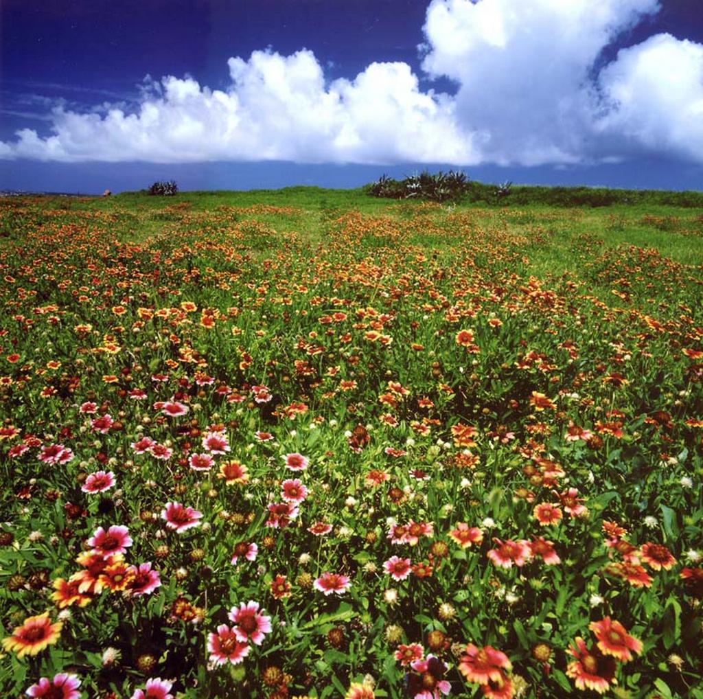 澎湖國家風景區--澎湖望安天人菊