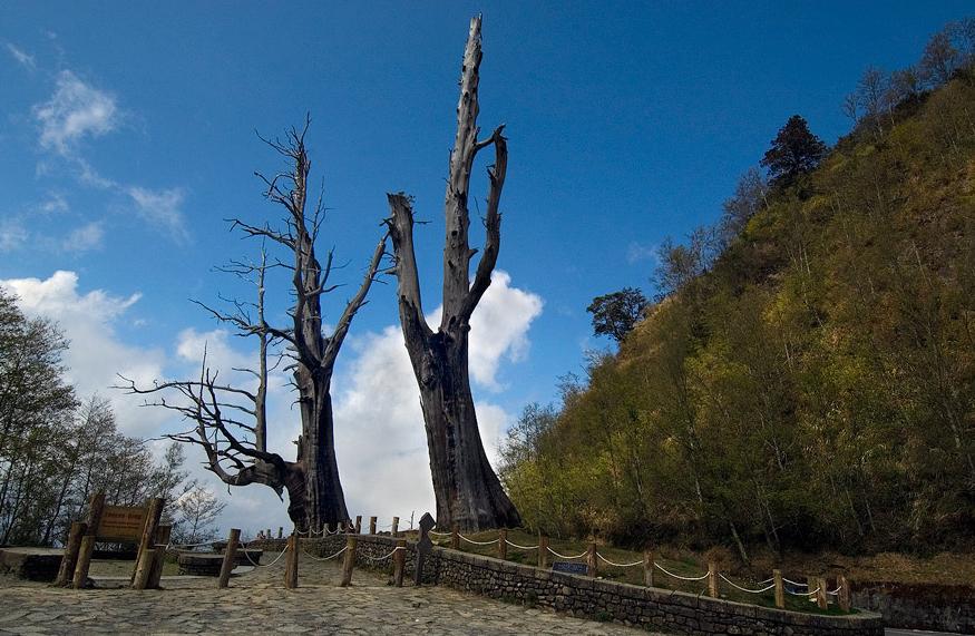 Yushan (Yu Mountain) National Park--Fuqi Trees (Husband and Wife Trees)