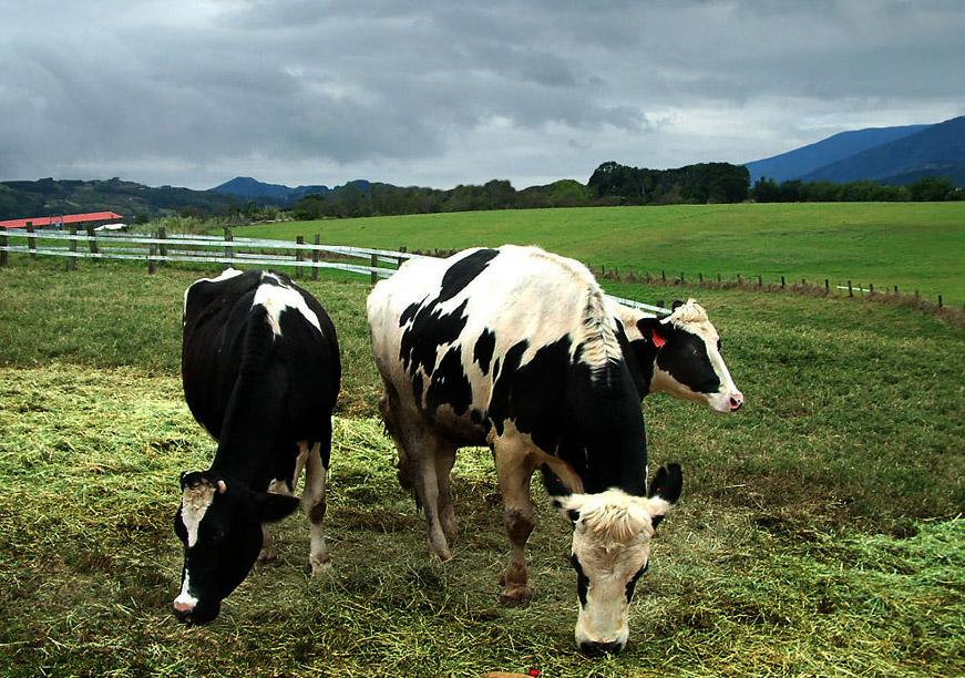初鹿牧場 牛