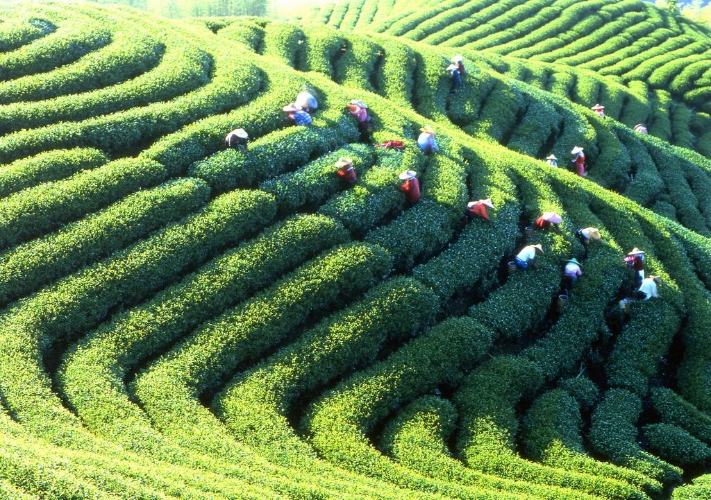鹿谷鄉農會茶業推廣中心