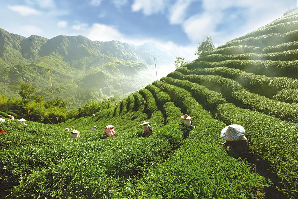 鹿谷鄉茶園