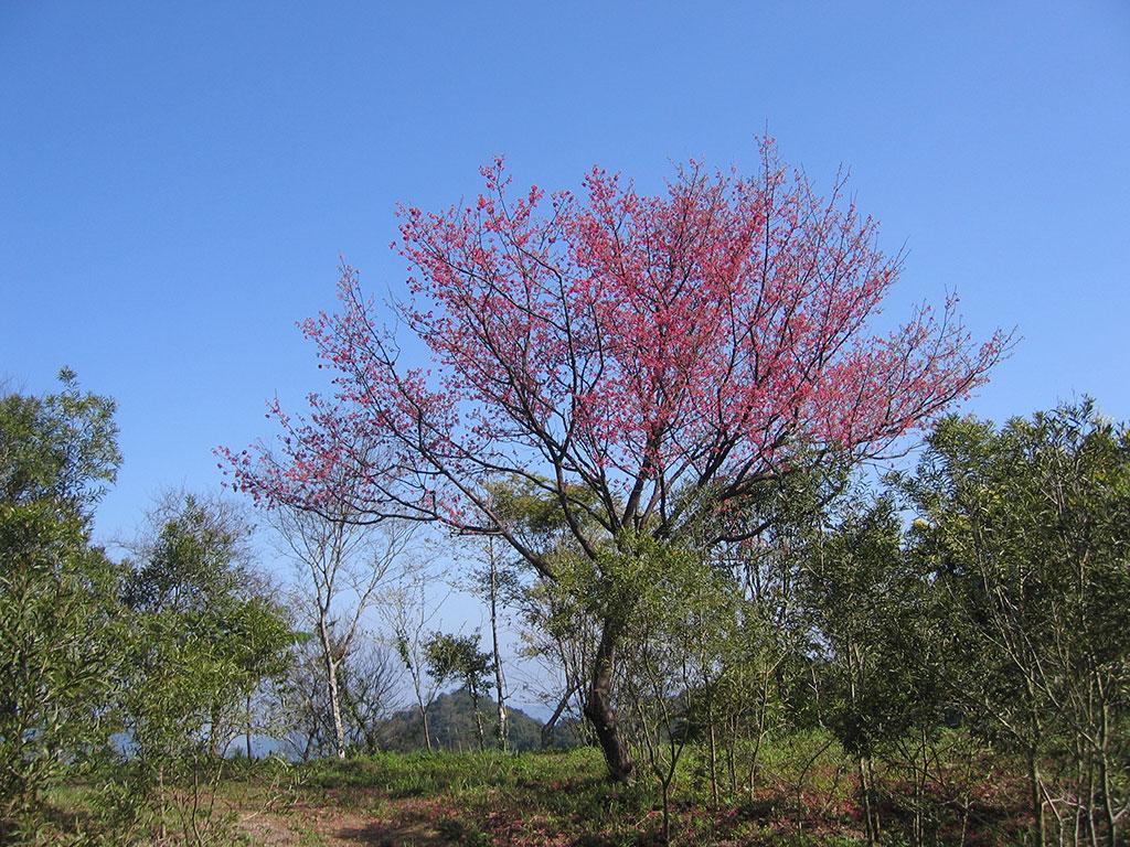 園區第一停車場旁的原生山櫻花,於每年早春盛開