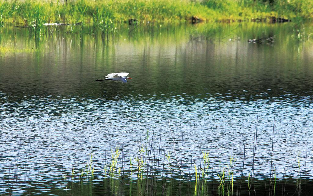 白鷺鷥飛掠半屏湖上(內政部營建署壽山國家自然公園籌備處提供)