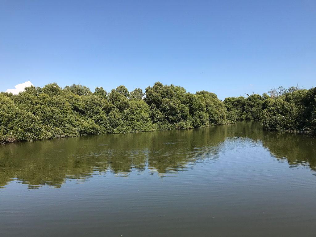 海茄苳純林景觀