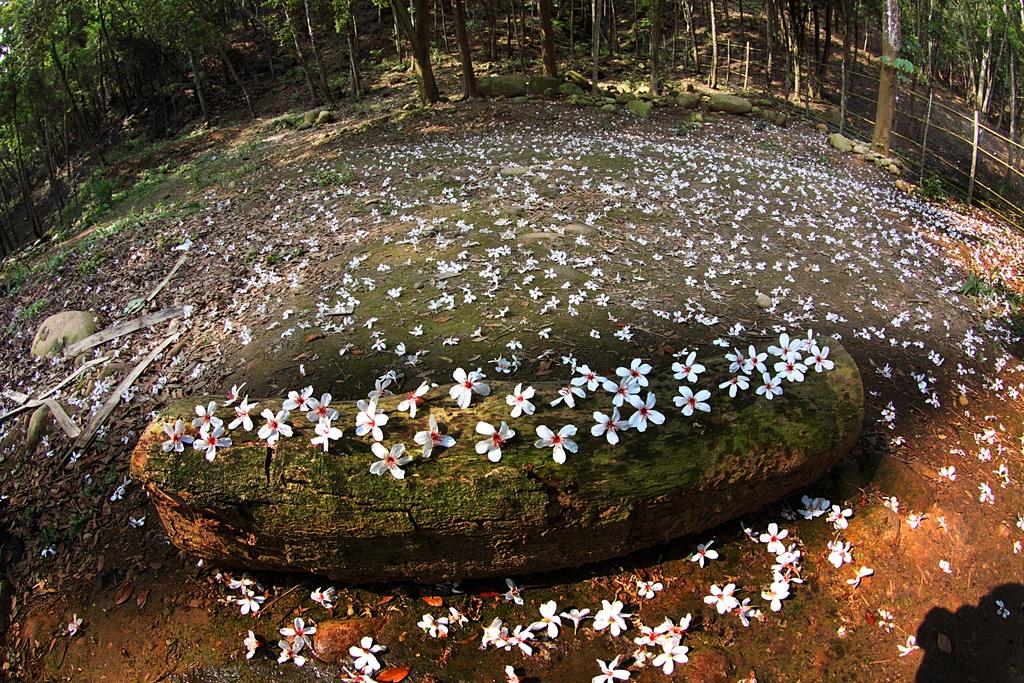 【桐花之美】三義地區因油桐密度頗高,每年桐花花開季節必定吸引大量的桐花愛好者到訪,可說是賞桐的最佳鄉鎮之一。