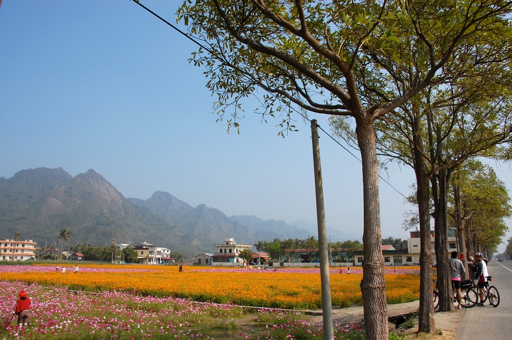 每年秋收後,美濃的農田會種上各色的花海。