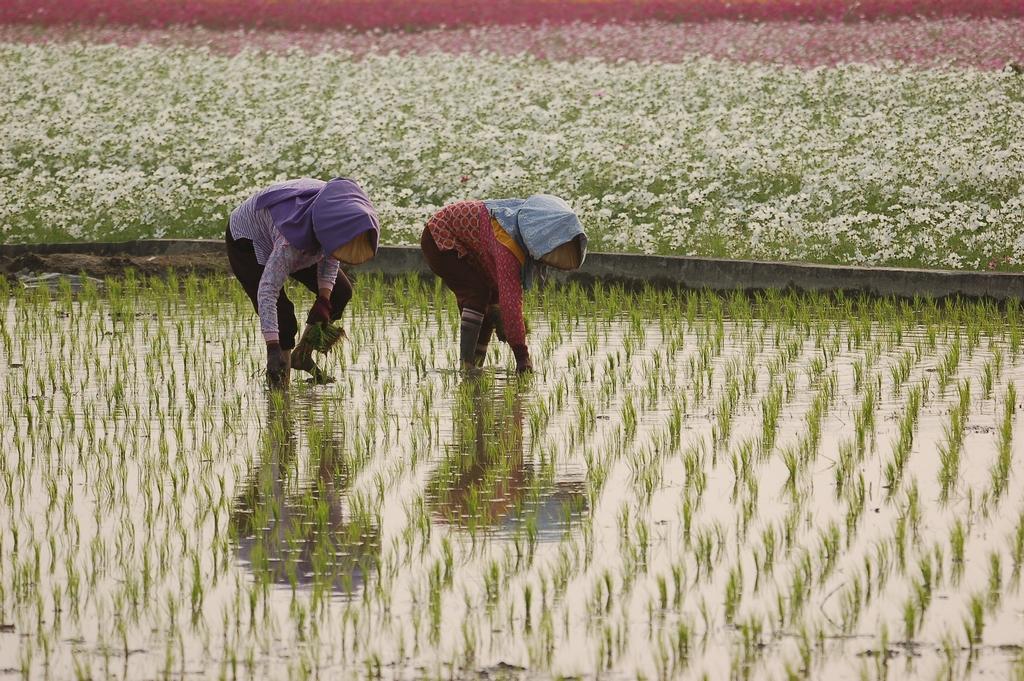 美濃山下,農人彎腰插秧的水田風光。