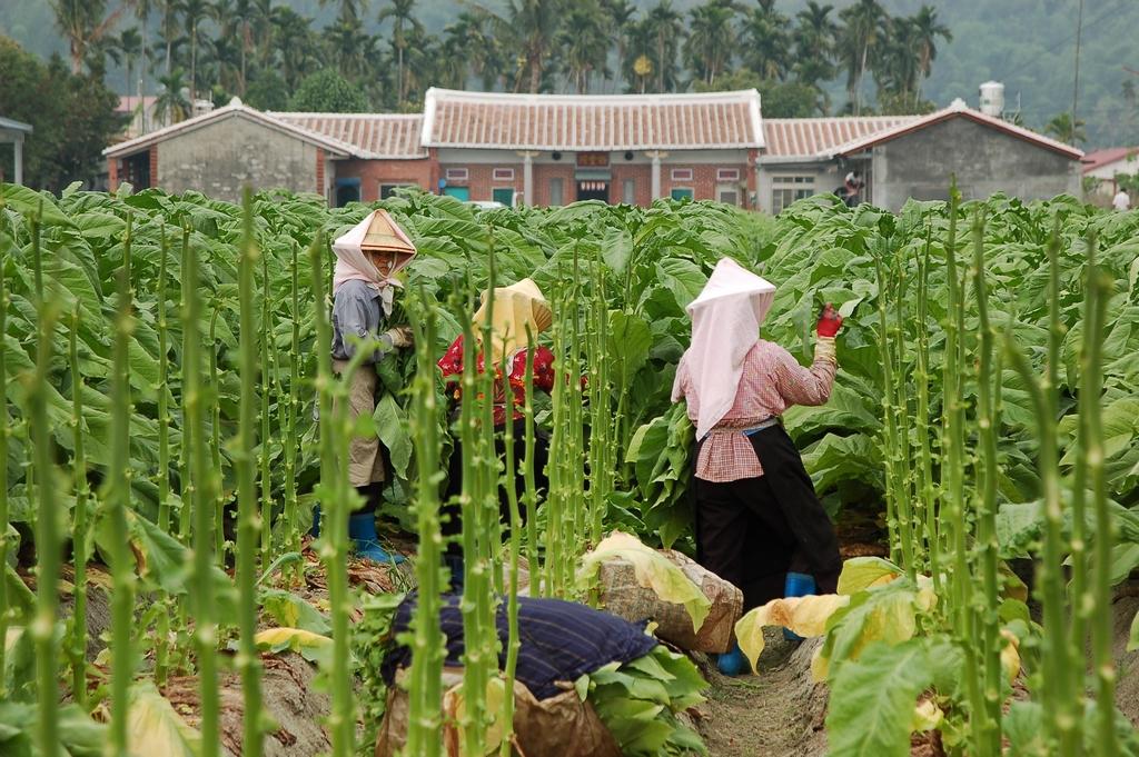 包著花布頭巾的客家媽媽們,穿梭在比人高的菸葉叢中。