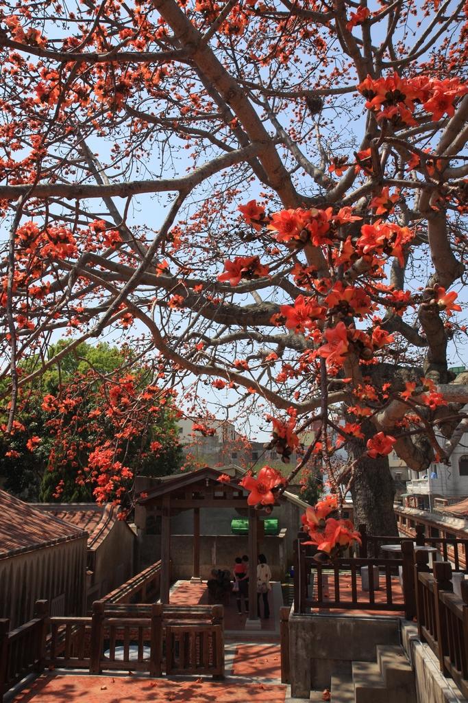 清代金門鎮總兵署裡盛開怒放的百年木棉樹花朵,展現古鎮不一樣的歷史風華。
