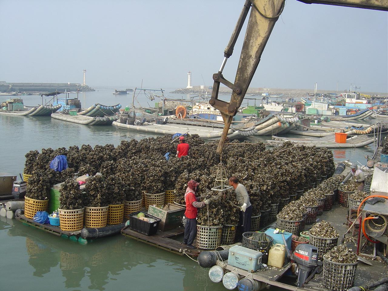 台西漁港吊蚵情形