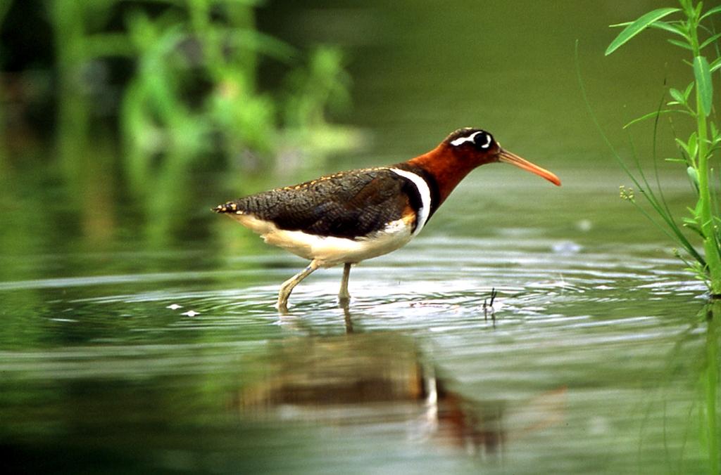 在高美濕地棲息的鳥類
