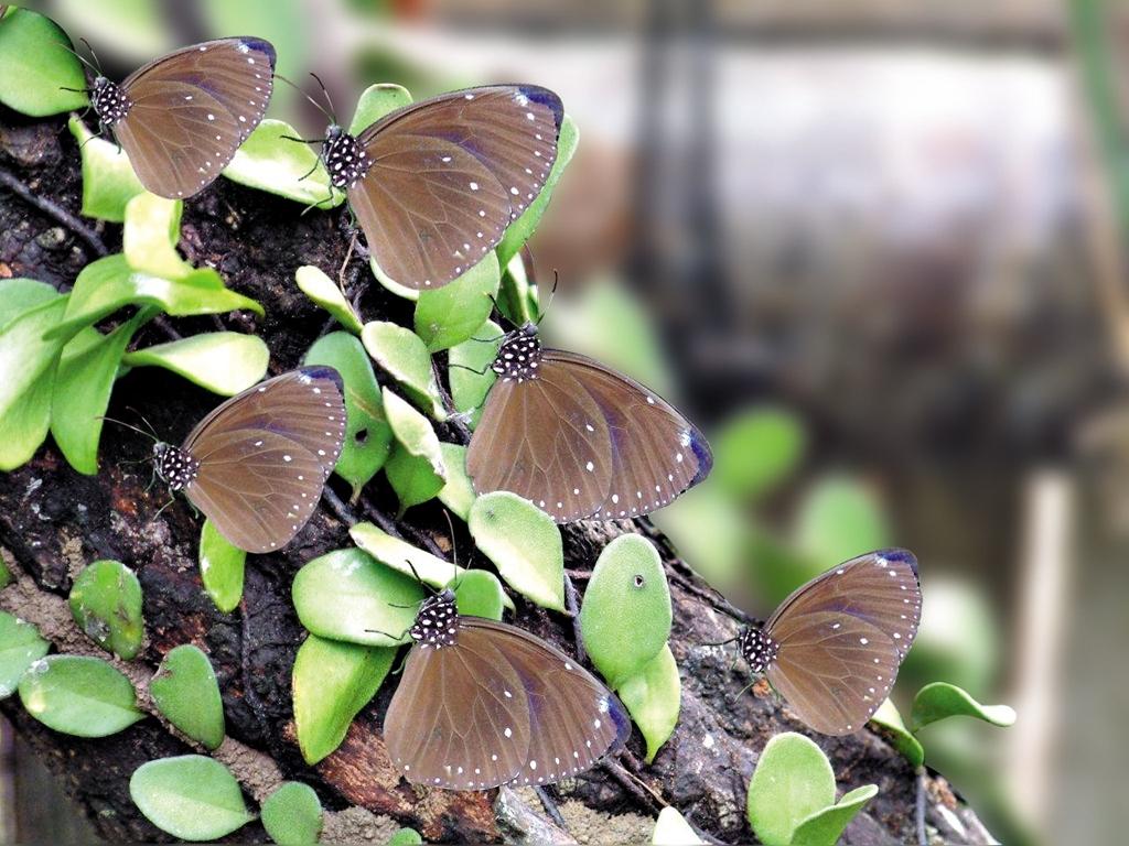 茂林紫斑蝶 (4)