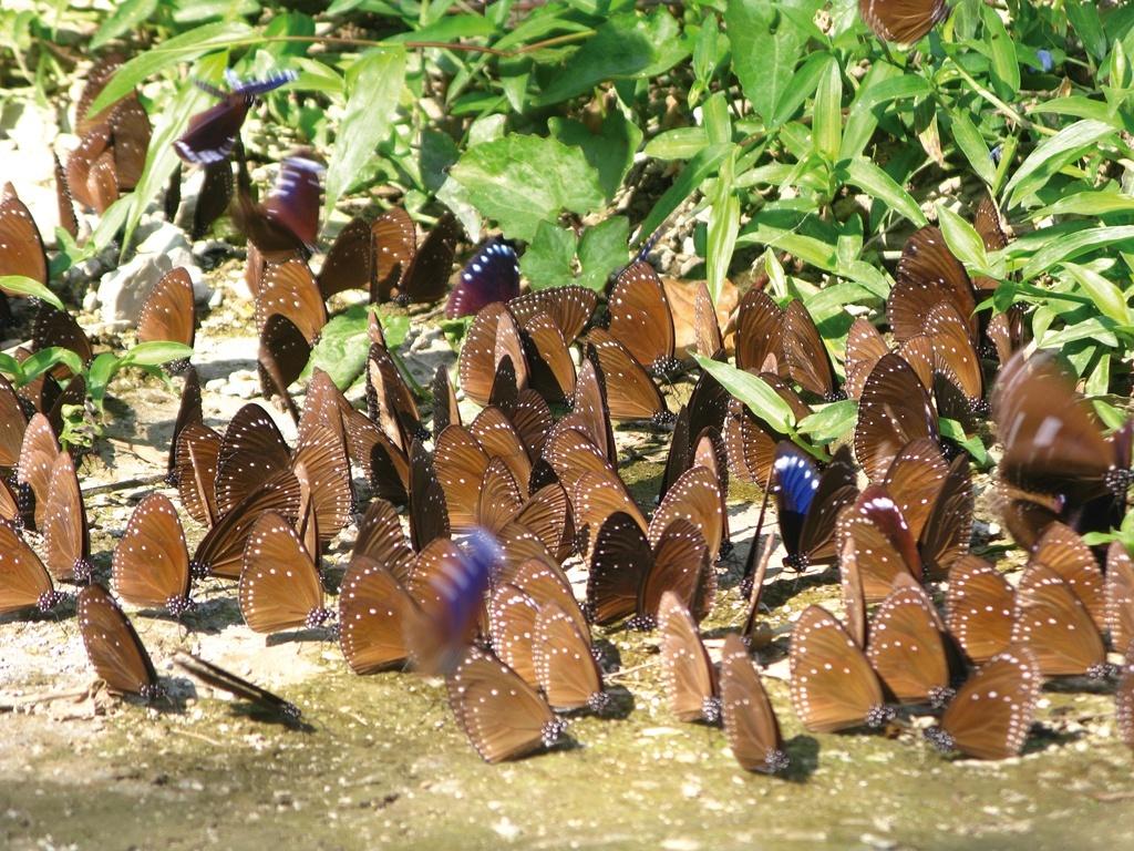 茂林紫斑蝶 (1)
