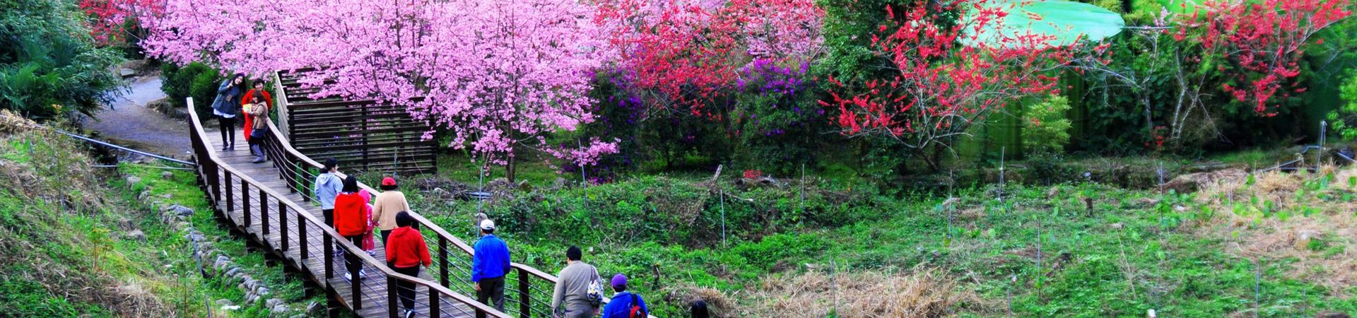 頂石棹-櫻之道步道