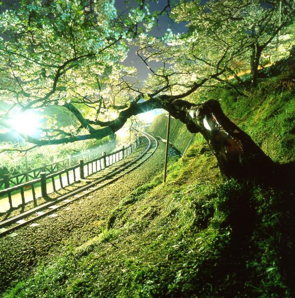 阿里山夜櫻
