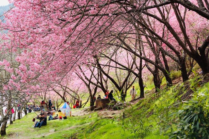 武陵農場櫻花季 粉紅佳人漫山遍野 夢幻晚櫻接力爆發