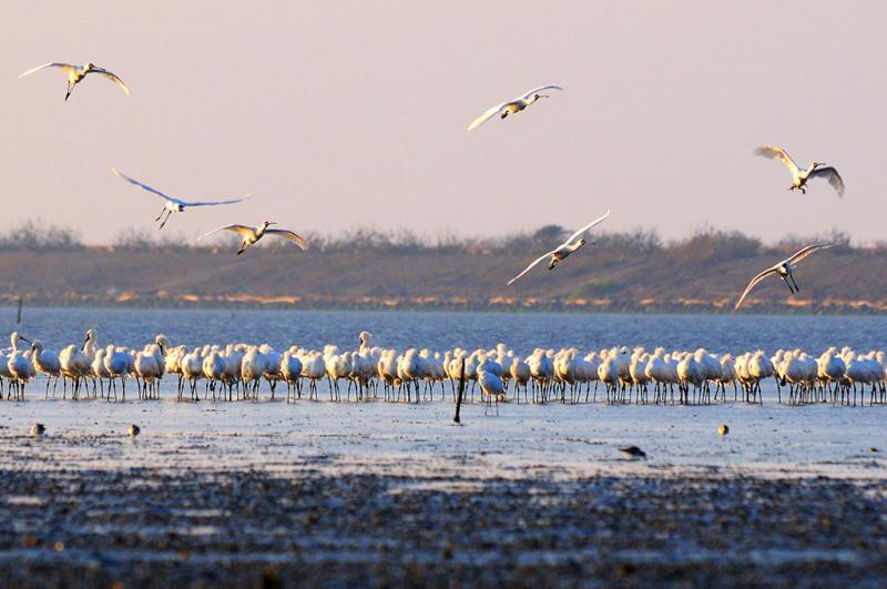 黑面琵鷺保護區