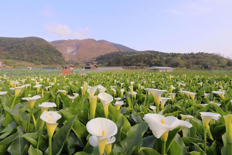 海芋田與陽明山小油坑  年度:2018  來源:臺北市政府產業發展局