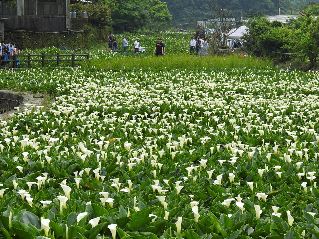 竹子湖海芋勝開美不勝收  來源:臺北市政府