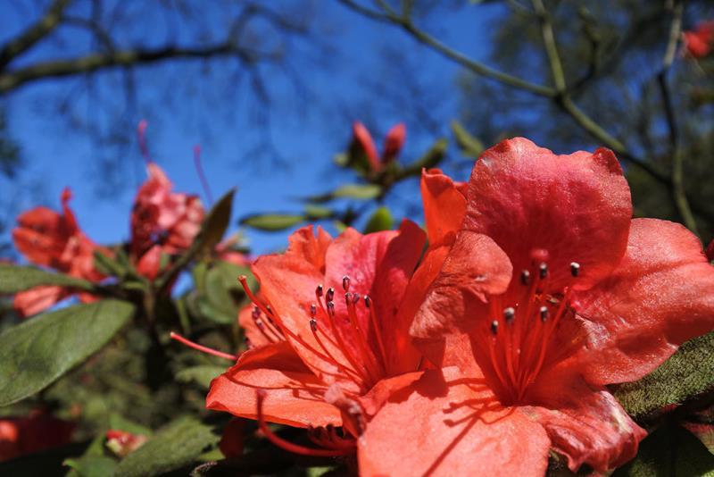 陽明公園金毛杜鵑盛開  年度:2018  來源:花卉試驗中心