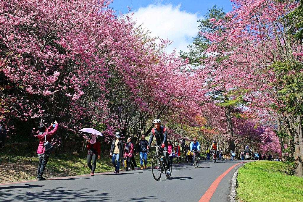 武陵路為粉紅拍照勝地  年度:2019  來源:武陵農場