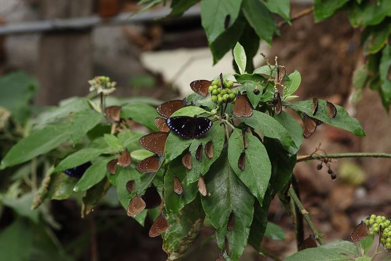圓翅紫斑蝶  年度:2018-19  來源:茂林國家風景區管理處