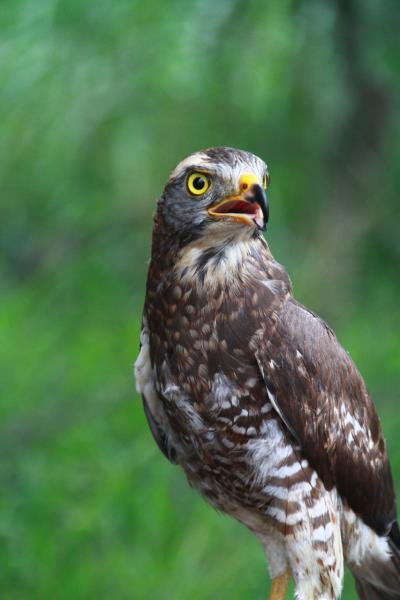 灰面鵟鷹(亞成鳥,尚未完全成長)的睥睨英姿  來源:參山國家風景區管理處