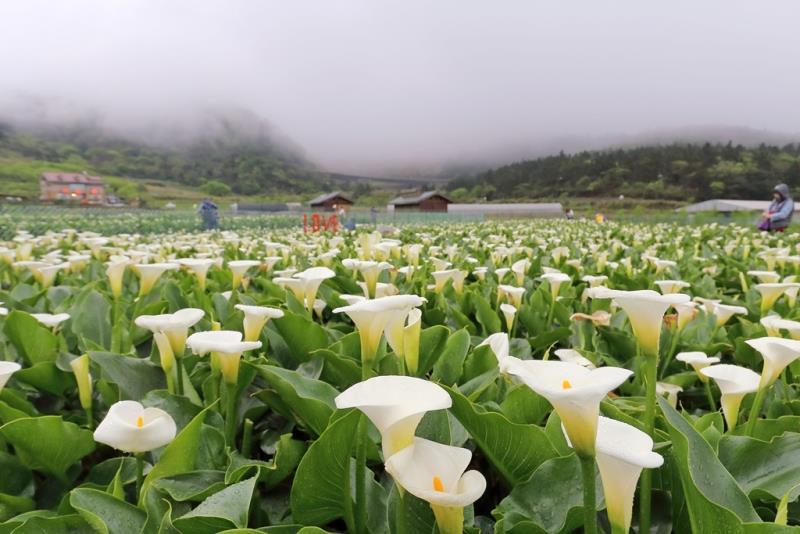 竹子湖海芋美不盛收