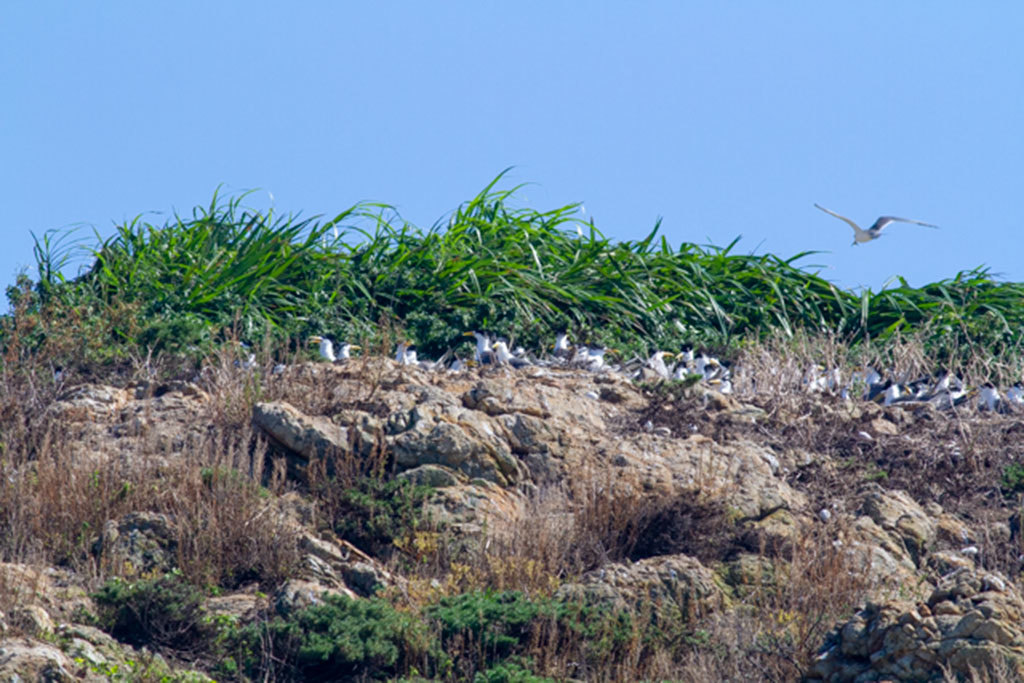 鳳頭燕鷗群立於樹林巢位  年度:2018  來源:馬祖國家風景區管理處