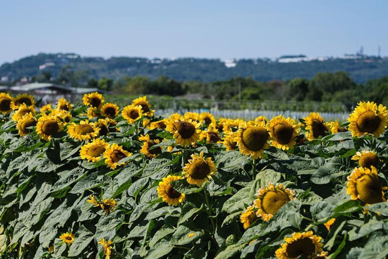 台中盆地環抱下的向日葵花海  年度:2019  來源:行政院農委會種苗改良繁殖場