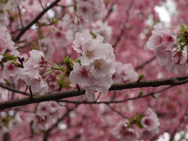 陽明公園第二停車場出口旁吉野櫻盛開  年度:2018  來源:花卉試驗中心