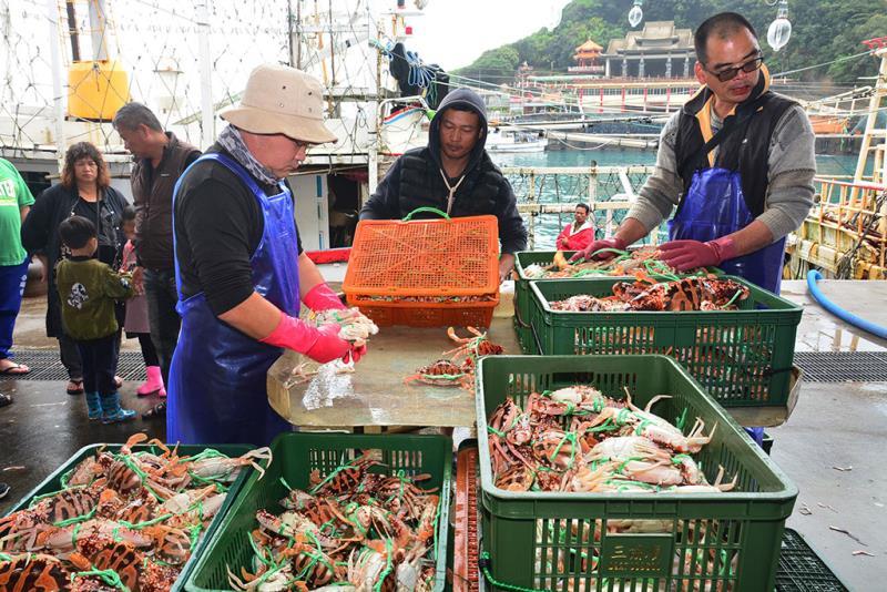 萬里蟹大豐收,漁民正為萬里蟹(花蟹)分級準備銷售  年度:2019  來源:新北市政府漁業及漁港事業管理處