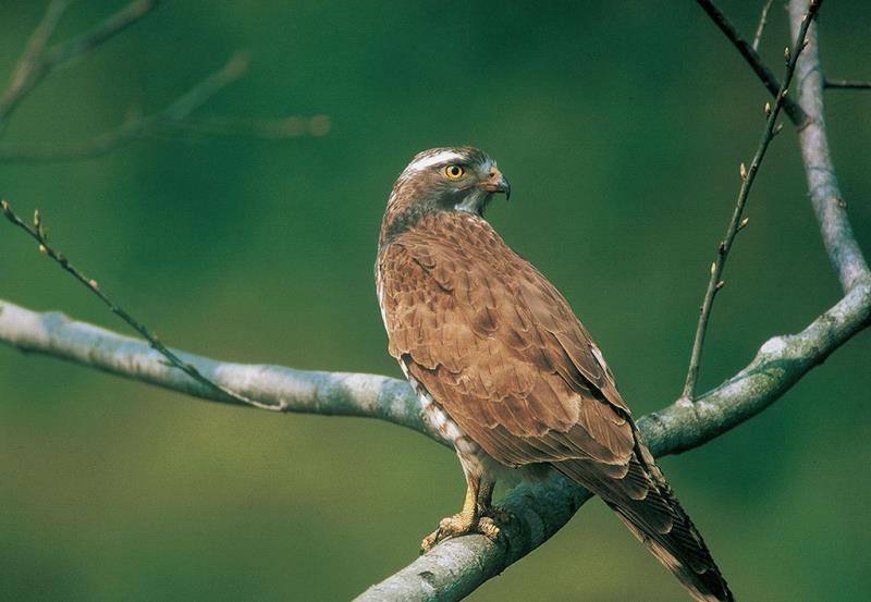 中低海拔的八卦山生態資源豐富,便於灰面鵟鷹覓食  來源:參山國家風景區管理處