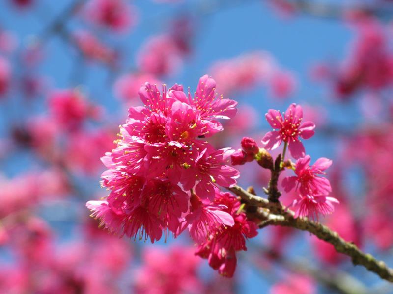 山櫻花  年度:2018  來源:花卉試驗中心