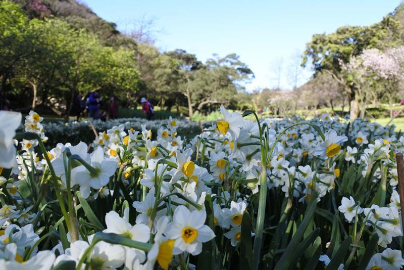湖山綠地水仙盛開  年度:2018  來源:花卉試驗中心