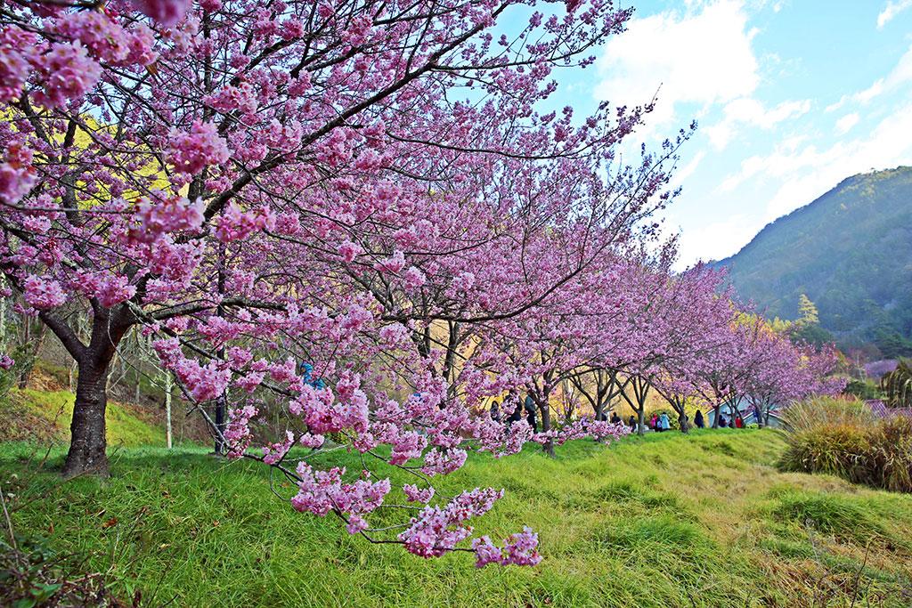 武陵農場常見櫻花主要品種之一:昭和櫻,成串一起盛開,增添武陵農場粉紅氣息  年度:2019  來源:武陵農場
