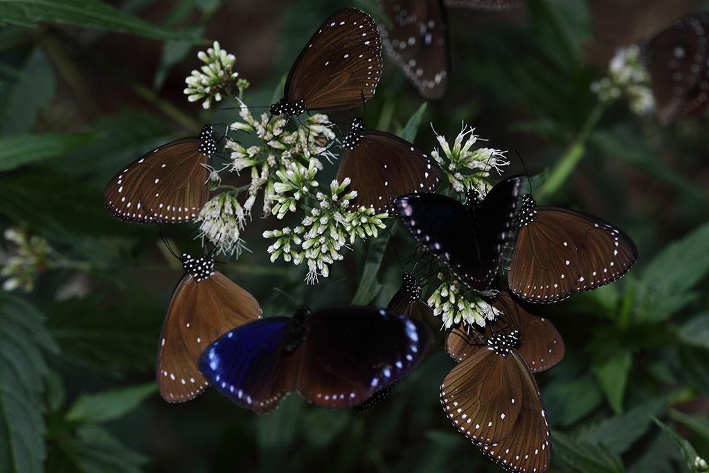 高士佛澤蘭上的紫斑蝶  年度:2018-19  來源:茂林國家風景區管理處
