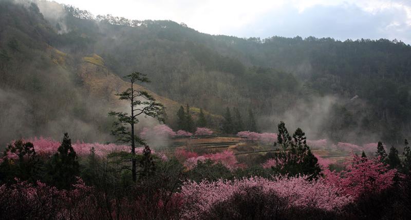 清晨雲霧繚繞,兆豐茶園區櫻花景觀  年度:2018  來源:武陵農場