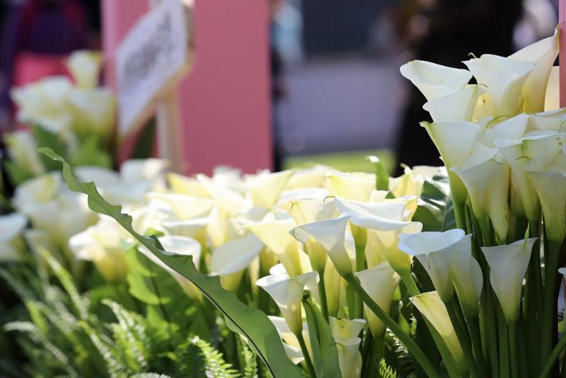 海芋白色浪漫  年度:2018  來源:臺北市政府產業發展局