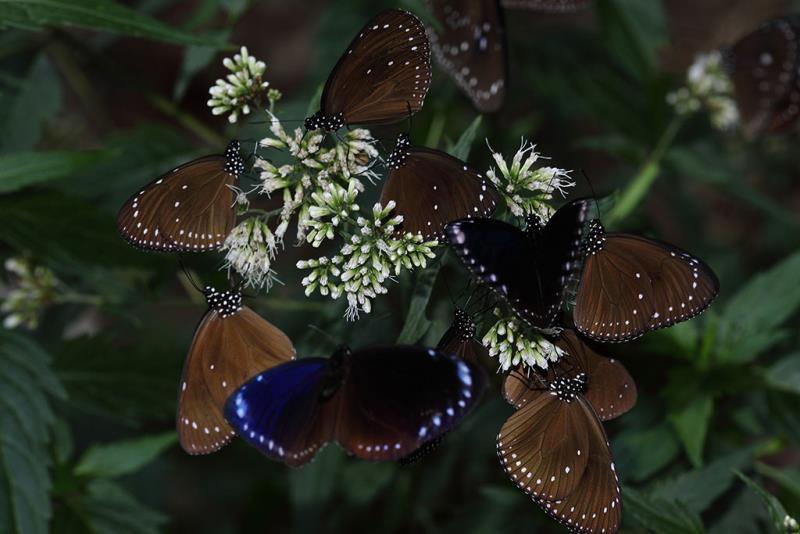 Eupatorium clematideum and Purple Butterfly