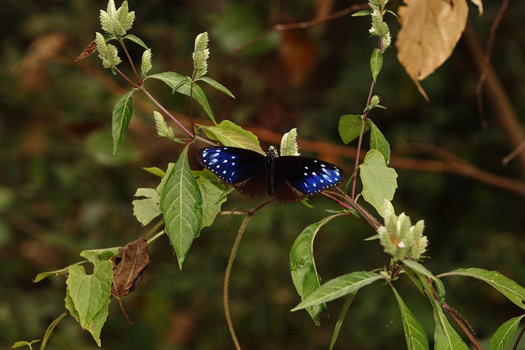 台灣鱗球花上的端紫斑蝶  年度:2018-19  來源:茂林國家風景區管理處