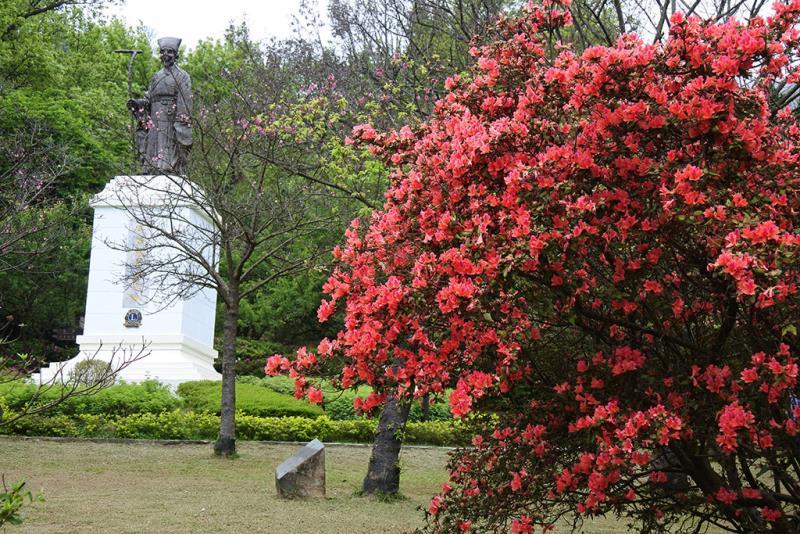陽明公園王陽明銅像區金毛杜鵑盛開  年度:2019  來源:花卉試驗中心