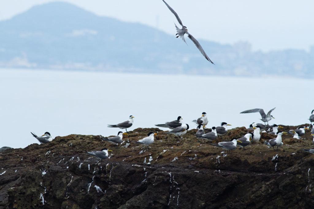 神話之鳥與鳳頭燕鷗群立於礁岩  年度:2018  來源:馬祖國家風景區管理處