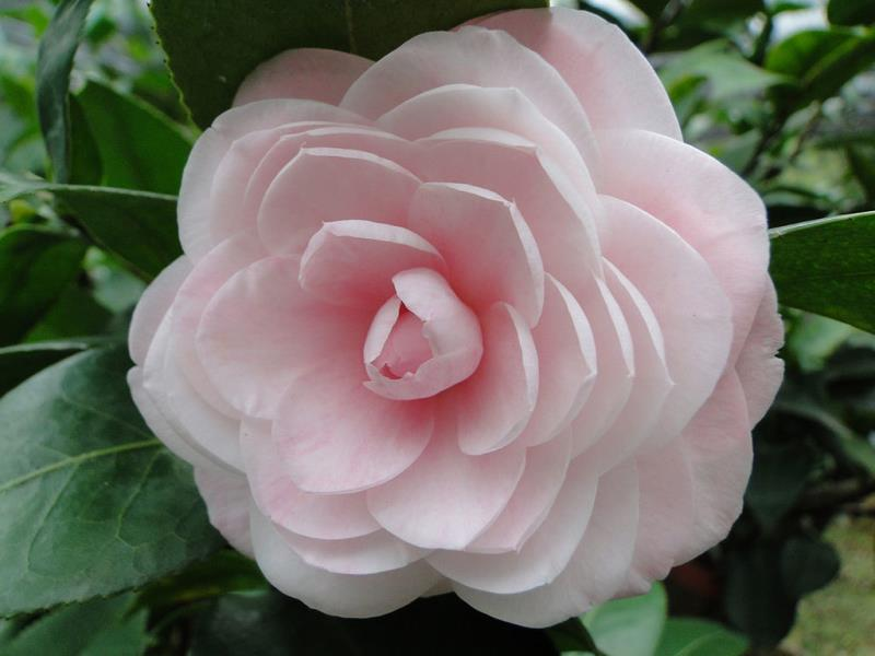 花卉試驗中心茶花盛開  年度:2018  來源:花卉試驗中心