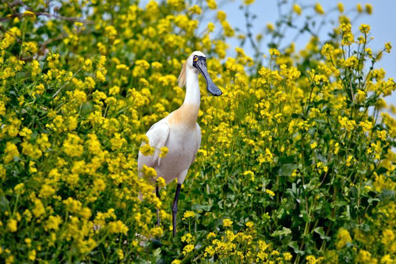春暖花開,黑琵繁殖季節到來  年度:2015  作者:王徵吉  來源:台江國家公園管理處