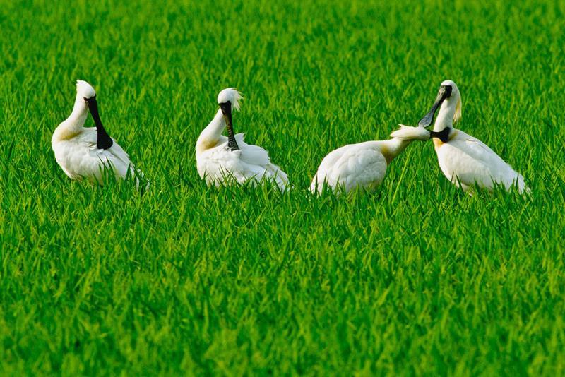 油油綠海,黑琵悠遊自在  年度:2011  作者:王徵吉  來源:台江國家公園管理處